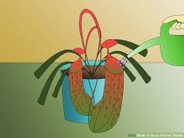 How To Save A Dying Plant How To Grow Pitcher Plants 9 Steps With Pictures Wikihow