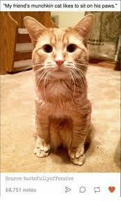 Cat Memes Tumblr - my friend s munchkin cat likes to sit on his paws source