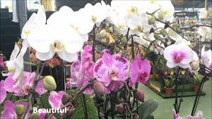 phalaenopsis moth orchids beautiful far east flora youtube
