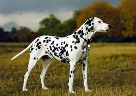 animal photography dalmatian dog stock images picture photo