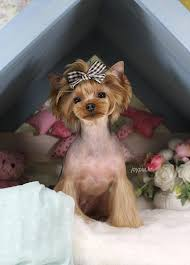 joypia yorkshire haircuts yorkie dog grooming pinterest yorkies dog and yorkshire