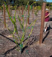 manage and prune dragon fruit improve production pitahaya thanh
