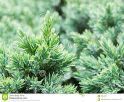 evergreen juniper background photo of bush with green needles
