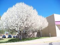 25 unique flowering pear tree ideas on bradford pear