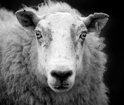 file ewe sheep black and white jpg wikimedia commons