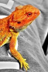 reptile pets direct orange bearded dragon love dragon