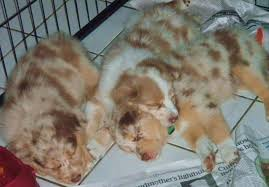 australian shepherd 3 weeks old shamrock rose aussies puppies