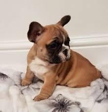american bulldog x belgian malinois husky x belgian malinois puppies in houghton le spring tyne and