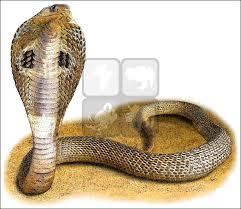 indian cobra naja naja line art and full color illustrations