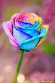 colorful roses rainbow i would to this in my garden pinteres