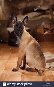 belgian shepherd houston belgian malinois stock photos u0026 belgian malinois stock images alamy