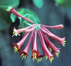 Non Invasive Climbing Plants - a fragrant non invasive honeysuckle hometalk