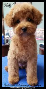 haircutsfordogs poodlemix 11 best japanese style dog grooming images on pinterest baby