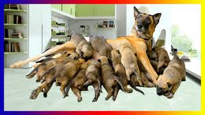 australian shepherd dog pregnant australian shepherd dog breeds giving birth to many cutes
