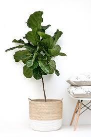 best 25 fiddle leaf fig ideas on fiddle leaf fig tree