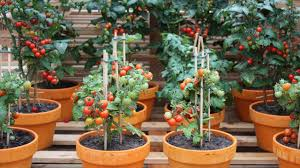 container gardening with tomatoes simple steps for growing