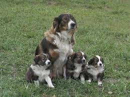 australian shepherd vs english shepherd english shepherd dog breed information and pictures
