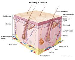 Parts Of The Face Anatomy Skin Cancer Types Symptoms U0026 Information Dana Farber Cancer