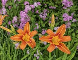 day lilies companion plants for daylily what flowers to plant with the garden