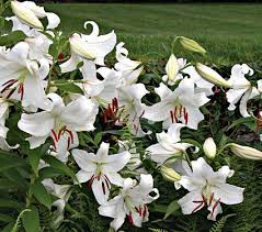 white lilies lilies