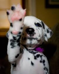 206 dalmatian images animals dalmatian