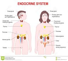 Endocrine System Concept Map Endocrine System Stock Vector Image 44943914