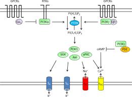 control of cardiac repolarization by phosphoinositide 3 kinase
