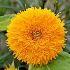 teddy sunflowers sunflowers sungold teddy 350 high quality flower