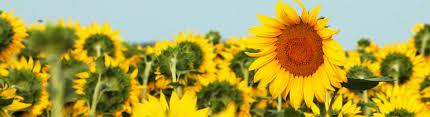 salina ks sunflower field by kansas state university sunflower foundation grants grants awarded interactive search map