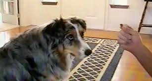 australian shepherd quiz this smart pup refuses to eat treats from only one person in the