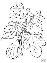 fig plant coloring page free printable coloring pages