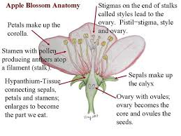 Where Is The Pollen Produced In A Flower - is fruit juice cell cytoplasm quora