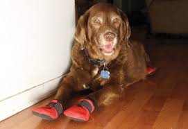 protect hardwood floors problematic pooches for dog nails booties could be the answer