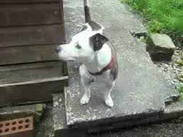 jack russell american pitbull terrier mix staffy cross jack russell youtube