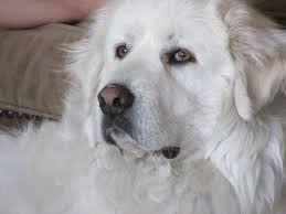 great pyrenees rescue provides wonderful dogs to good homes 306 best great pyrenees dogs images on pinterest mountain dogs