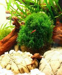 40 best aquarium pflanzen images on pinterest plants planted