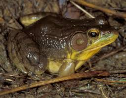 bullfrogs and green frogs up for grabs june 30 missouri