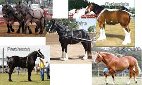 sims 3 australian shepherd template mod the sims 5 draft horses