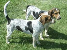 bluetick coonhound breeders in michigan usa puppy pictures