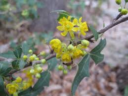 deer resistant native plants mahonia trifoliolata agarita currant of texas wild currant