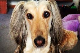 afghan hound stupid not all dogs are nobles and genius top breeds framed with their