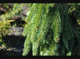 landscape ornamental weeping spruce trees