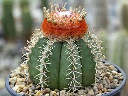 Turks Cap Melocactus Matanzanus Dwarf Turk U0027s Cap Cactus World Of Succulents