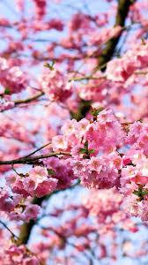 cherry blossom tree hd samsung galaxy phone wallpaper