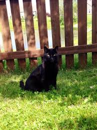 today is national black cat appreciation day cats