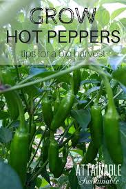 grow peppers in your vegetable garden or in a container garden