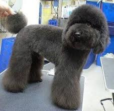 standard poodle hair styles poodle grooming styles fuzzy face this would be a cute cut for