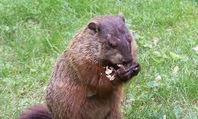 origins groundhog digg