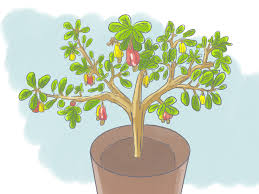 In House Plant How To Grow A Cashew Nut In A Pot 6 Steps With Pictures