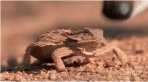 Horny Toad Meme - texas horned lizard gifs get the best gif on giphy